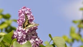 Schmetterling auf einer lila Blüte einer lila Nahaufnahme Stockfotos