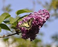 Schmetterling auf einer lila Blüte einer lila Nahaufnahme Lizenzfreie Stockbilder