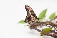 Schmetterling auf einer Niederlassung mit Grün verlässt auf Weiß Konzept von Energie Lizenzfreie Stockfotografie