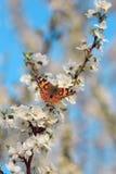 Schmetterling auf einer Niederlassung von Kirschblüte-Baum Lizenzfreies Stockbild