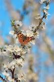 Schmetterling auf einer Niederlassung von Kirschblüte-Baum Stockfotos