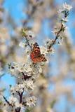 Schmetterling auf einer Niederlassung von Kirschblüte-Baum Stockbild
