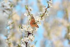 Schmetterling auf einer Niederlassung von Kirschblüte-Baum Stockfotografie