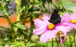 Schmetterling auf einer rosa Blume Stockbilder