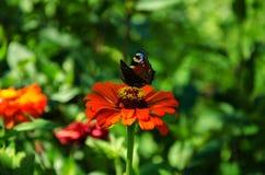 Schmetterling auf einer roten Blume stockbild