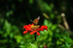 Schmetterling auf einer roten Blume lizenzfreie stockfotografie