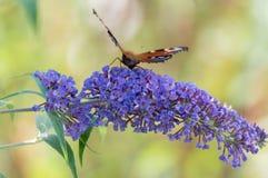 Schmetterling auf Flieder Lizenzfreies Stockfoto