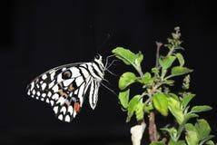 Schmetterling auf grünem Urlaub Stockfotografie