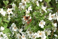 Schmetterling auf Jasmin Lizenzfreie Stockfotografie