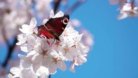 Schmetterling auf Kirschbl?te-Blumen stock video footage
