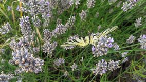Schmetterling auf Lavendel Stockbild
