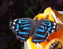 Schmetterling auf orange Scheibe Stockfotos