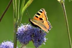 Schmetterling auf purpurroter wohlriechender großer Blume ein Sommertag auf dem Feld Stockbilder