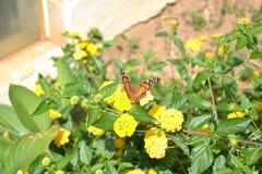 Schmetterling auf Ringelblumen im Blumenbeet Stockfotografie
