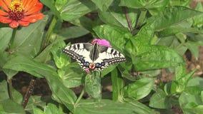 Schmetterling auf rosa Blume stock video footage