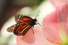 Schmetterling auf rosa Blume im Sonnenuntergang Lizenzfreie Stockfotografie