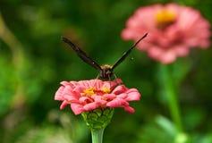 Schmetterling auf rosa Blume von Zinnia lizenzfreie stockfotografie