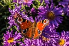 Schmetterling auf violetten Blumen Stockbilder