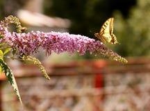 Schmetterling auf violetter Blume lizenzfreies stockbild