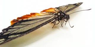 Schmetterling auf weißem Boden - Nahaufnahme Stockbilder