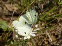 Schmetterling auf weißer Blume Lizenzfreies Stockbild