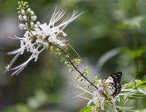 Schmetterling auf weißer Blume stockbild