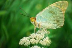 Schmetterling auf wilden weißen Blumen mit grüner Nahaufnahme des natürlichen Hintergrundes Stockfotos