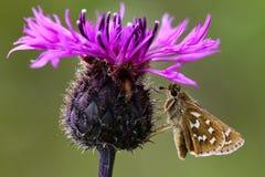 Schmetterling auf wilder Blume Stockbilder