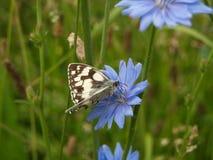 Schmetterling auf Zichorie Stockbilder