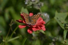 Schmetterling auf Zinnia Lizenzfreie Stockfotografie