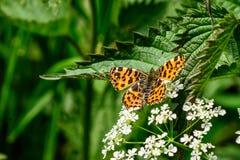 Schmetterling bereit sich zu entfernen Lizenzfreie Stockfotografie