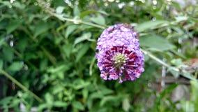 Schmetterling Bush Lizenzfreie Stockfotografie