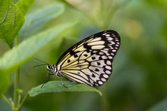 Schmetterling Royalty Free Stock Photos