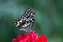 Schmetterling Royalty Free Stock Photography