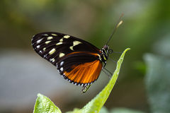 Schmetterling Royalty Free Stock Image