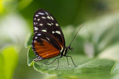 Schmetterling Stock Image