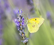 Schmetterling Colias-croceus stockbild