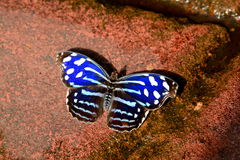 Schmetterling Cyaniris Bluewing alias Myscelia-cyaniris Lizenzfreies Stockfoto