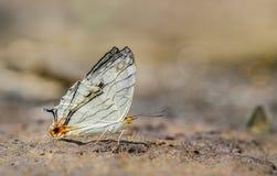 Schmetterling Cyrestis Thyodamas Thyodamas lizenzfreie stockfotos