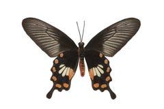Schmetterling das Common-Rosen-Makro lokalisiert Stockfotografie