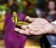 Schmetterling in den männlichen Händen Stockbilder