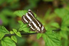 Schmetterling, der auf Blatt stützt Stockfotografie