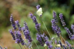 Schmetterling, der auf blaue Blumen einzieht Stockfotografie