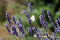 Schmetterling, der auf blaue Blumen einzieht Lizenzfreies Stockfoto