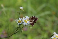 Schmetterling, der auf Daisy Flower sitzt Lizenzfreies Stockfoto