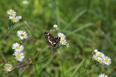 Schmetterling, der auf Daisy Flower sitzt Lizenzfreie Stockbilder