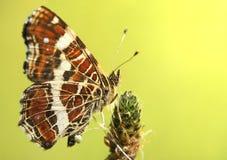 Schmetterling, der auf dem Gras sitzt Stockfoto