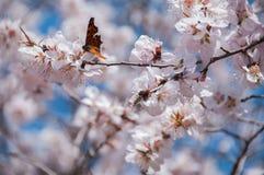 Schmetterling, der auf eine Pfirsichblüte im Vorfrühling einzieht Lizenzfreies Stockfoto