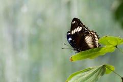 Schmetterling, der auf einem Blatt sitzt Stockbild