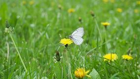 Schmetterling, der auf einem Feld des Löwenzahns im Sommer sitzt nahaufnahme stock video footage